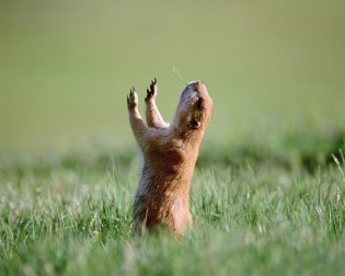 prayer-prairie-dog