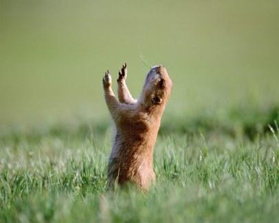 prayer-prairie-dog