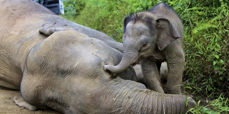 18432_babyelephant2_1_460x230